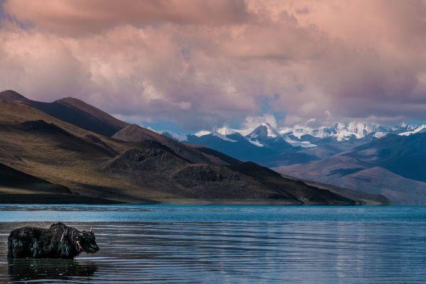 Tibetan Yak in Yamdrok Lake